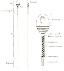Gray's Anatomy - Spermatozoon